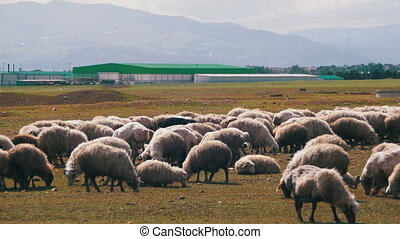 Group of Sheep Grazing in the Field - Group of sheep grazing...