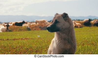 Sheepdog Guarding the Herd of Sheep. Close-up. Dog shepherd...