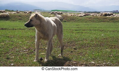 Sheepdog Guarding the Herd of Sheep in the Field. Slow...