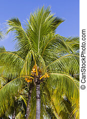 Coconuts palm tree perspective view from floor high up -...