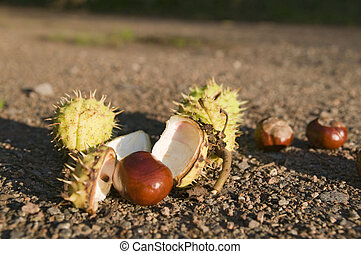 chestnuts fall on the ground - Close-up of several on a...