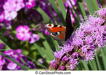 purple flower background with butterfly peacock eye