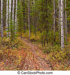 Trail in Golden Aspen Forest - A Trail leads deeper into a...