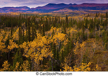 Yukon Gold - Fall in Yukon Territory, Canada - Fall turns...