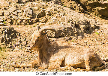 Wild goat in nature. Goat lying on the ground - Wild goat in...