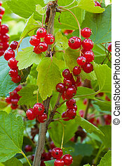 Red currant berries on bush - Ripe red currants hanging from...