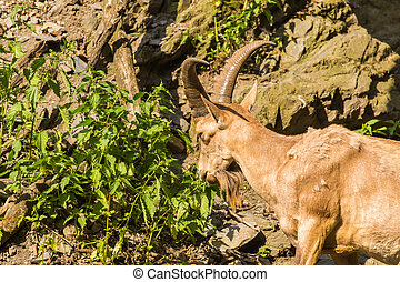 Wild goat eating leaves in nature - Wild goat in nature....