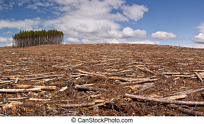 Clearcut logging - A pine forest is clearcut save for a...