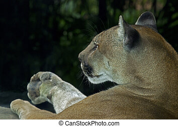 Costa Rican cougar in a wildlife refuge - Costa Rican cougar...