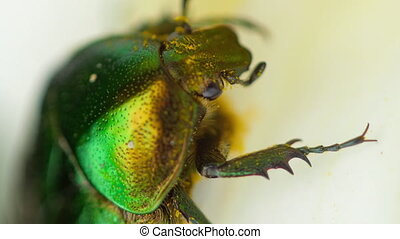 Cetonia Aurata close-up - Beetle Cetonia Aurata also known...