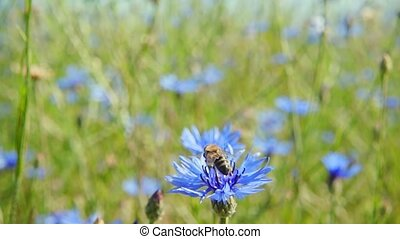 Bumblebee collects nectar from blue flowers, slow motion