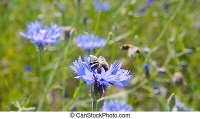 A bee collects nectar from blue flowers, slow motion