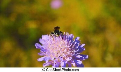 A bee collects nectar from a flower, slow motion