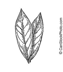 Bay leaves ink sketch. Isolated on white background. Hand...