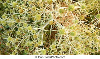 dry thorn bush - Beautiful bush dry field thorns. High...
