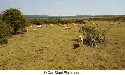 Cows from the air