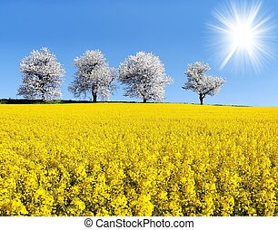 field of rapeseed, canola or colza in latin Brassica Napus,...