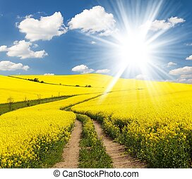 Field of rapeseed, canola or colza in Latin Brassica napus...