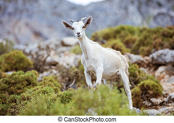 Young white goat in mountains on coast, Kalymnos island,...