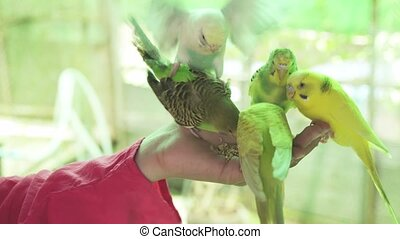 Flock of wavy parrots eat food from child's hand stock footage video