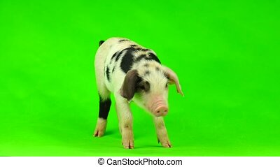 pig isolated on a green background.  in studio shot