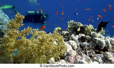 The view of a diver exploring a colorful reef, Red sea,...