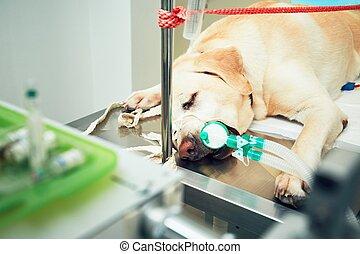 Old dog in animal hospital - Old labrador retriever in...