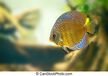 Discus in aquarium - Vividly colored discus or Symphysodon...