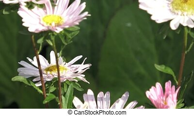 Callistephus chinensis. Aster flowers close up