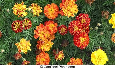 The flower Tagetes patula in the garden. Marigold Tagetes...