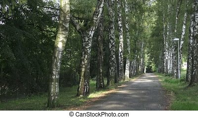 Alley of birch trees and way. Birch alley in the park. Alley with birch trees in a park on summer