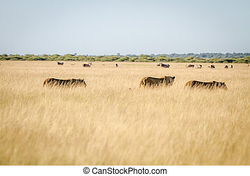 Pride of Lions in the high grass.