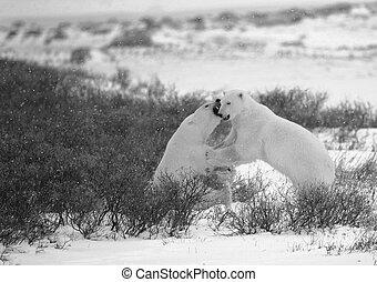 polar,  3, luta, Ursos