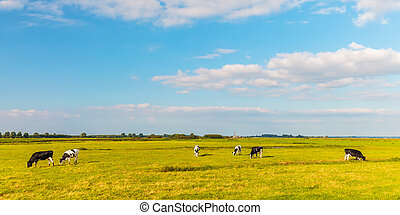 Panoramic image of Dutch cows in the province of Utrecht
