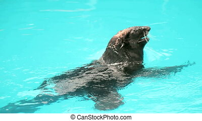Sea Lion - sea lion applauding