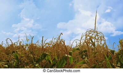Corn plants waving in the wind - more windy. Blue cloudy sky...