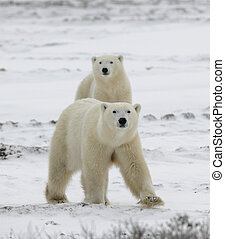 Polar bears have become interested Snow-covered tundra It is...