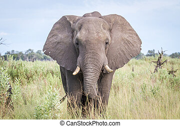 Elephant starring at the camera. - Elephant starring at the...