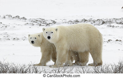 Couple. Polar bears have become interested. Snow-covered...