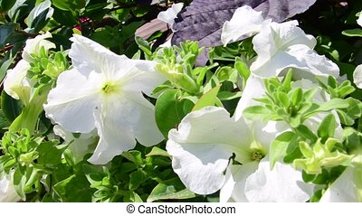 White and red petunia background. Natural background. 4K. -...