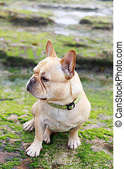 French Bulldog sitting in rocky coastline covered with...