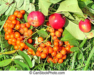 Rowanberry and apples in forest of Thornhill, Canada, August...