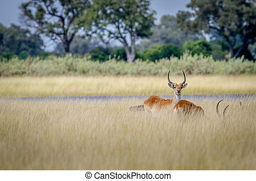 Lechwe starring at the camera. - Lechwe starring at the...