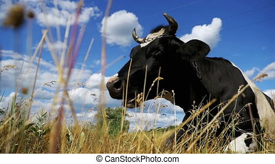 Cow Lying on Meadow and Chews Grass. Slow Motion in 96 fps....