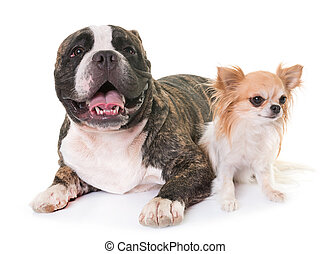 american bully and chihuahua