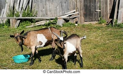 Group of cute happy goats in yard of farm - russian village,...