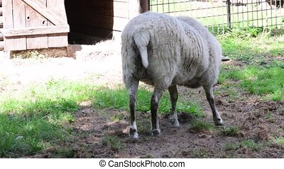 The sheep Ovis aries is a quadrupedal, ruminant mammal...