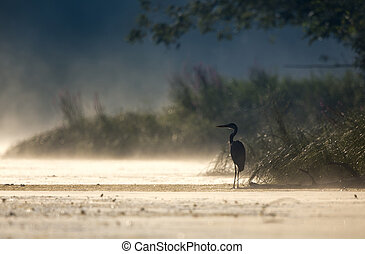 Gray heron standing on coast at dawn - Silhouette of gray...