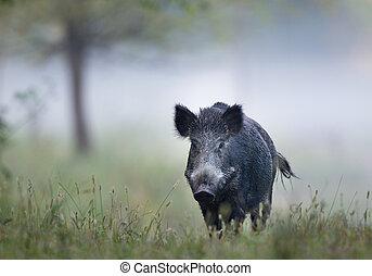 Wild boar in fog - Wild boar (sus scrofa ferus) walking in...