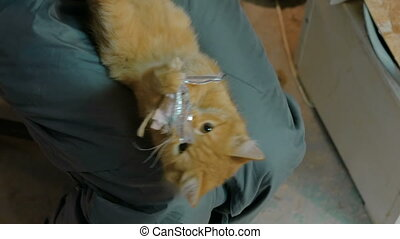 Kitten playing with string toy - Orange kitten playing with...